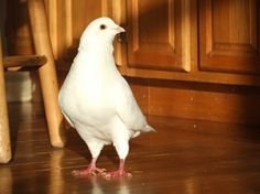 Images from Palomacy Pigeon & Dove Adoptions -slide0
