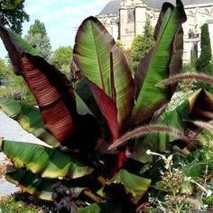 Le Bananier rouge d'Abyssinie, un Bananier aux feuilles pourpres. Le Bananier rouge d'Abyssinie à une croissance rapide, il peut atteindre rapidement 1.50m. On le cultive en pot dans un endroit ensoleillé à l'abri du vent.C'est un Bananier un frileux, rentrer le pot l'hiver, ou prévoir un voile d'hivernage et un paillage au pied des mi-novembre jusqu'a fin mars. Les feuilles vertes nervurées de rouge duBananier d'Abyssinie seront du plus bel effetsur votre terrasse ou votre balcon…
