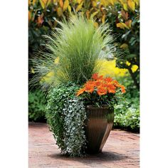 Stunning Waterfall Collection recipe-  2 Dichondras  1 Stipa  1 Gazania
