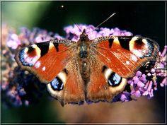 Papillon Inachis io (Le paon du jour)