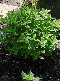 citromfű kiskertben Health 2020, Herb Garden, Herbalism, Herbs, Gardening, Outdoor, Beautiful, Plant, Herbal Medicine
