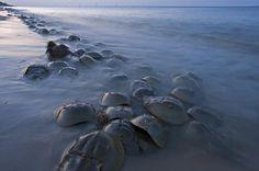 Horseshoe Crabs Crawling Ashore Delaware Photograph