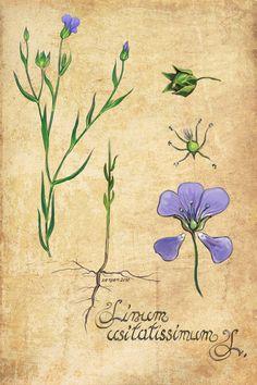 Linum usitatissimum L. (Flax, Linen)   Botanical Illustration
