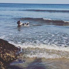 Im in lads. #blueroan #cockerspaniel #cockerspanielworld #dogswimming #sea