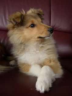 3 month old Sheltie puppy...they are the cutest and smartest dogs.
