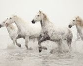Horse Photography, White Horses Running in Water, Horse Art, Camargue, France, Nature, Animal, Ivory - Breathless