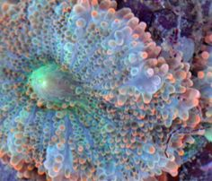 "Image result for Cynarina coral goes by a simpler name — ""cat's eye coral"""