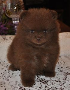 Everything about the Pomeranian dog breed. Discover Pomeranian coloring, sizing, traits, lifespan, and compare Pomeranians to other dog breeds. Teacup Puppies, Cute Puppies, Cute Dogs, Dogs And Puppies, Doggies, Spitz Pomeranian, Pomeranian Facts, Pomeranians, Small Pomeranian