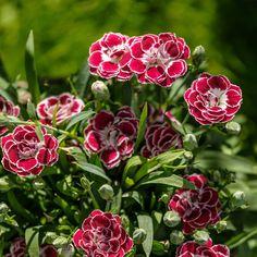 Nellik er en kraftigvoksende sommerblomst som blomstrer i ulike farger. Planten er hardfør og tåler både sol og regn. Plant i god Hageland-jord. Se mer her. Mandala, Plants, Sun, Plant, Mandalas, Planets