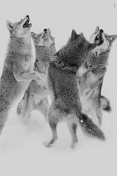 dancing winter wolves.
