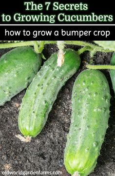 7 Secrets To Growing Cucumbers