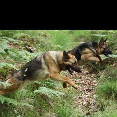 German Shepherds... Best K9 ever!