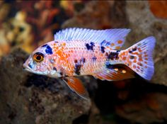 Marble Peacock Cichlid My Tank Over Time Pinterest