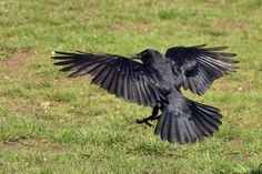 People like grapes • Raven Bird, Crow Bird, American Crow, Crows Ravens, Garden Sculpture, Birds, Animals, Explore, Friends