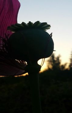 Perfect Image, Perfect Photo, Love Photos, Cool Pictures, Sunset Silhouette, Poppy, Thats Not My, Exotic, Seeds