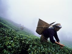 Picture of woman picking tea leaves in India