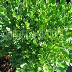 image de Buxus Green Gem Green Gem, Buxus, Quebec, Herbs, Photos, Image, Gardens, Sun, Note Cards