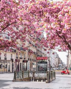 Cherry Blossoms in Paris by Loic Lagarde.