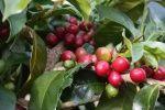 Ripe coffee cherry in Serribu Dolok. http://coffeeshrub.com/shrub/coffee/sumatra-lintong-dolok-sanggul-1