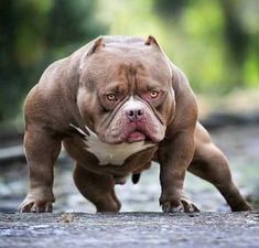 Animals Discover Top 10 Biggest Dog Breeds in the World - Enormous Dog Breeds Huge Dogs Giant Dogs Pitbull Terrier Cute Baby Animals Funny Animals American Bully Big Dog Breeds Scary Dogs Best Dog Toys Huge Dogs, Giant Dogs, Scary Dogs, Funny Dogs, Cute Baby Animals, Funny Animals, Big Dog Breeds, Best Dog Toys, Bully Dog