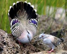 Crested Bronzewing Pigeon