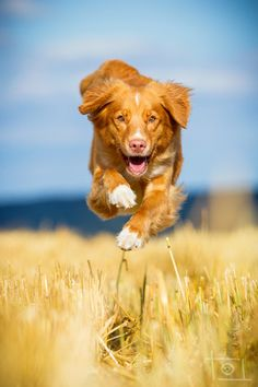 perfect shot: colours, sharpness, movement...  (Nova Scotia Duck Tolling Retriever)