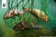 STOPPT DIE ÜBERFISCHUNG UNSERER MEERE!  Morgen entscheiden die Fischerei-Minister der EU-Staaten über die Fangquoten der Nordsee im nächsten Jahr. Wir befürchten, dass die legalisierte Überfischung fortgesetzt und viel zu viel Fisch gefangen werden wird.  Darum fordern wir Bundesminister Christian Schmidt auf, sich ernsthaft für den Schutz unserer Meere einzusetzen und nur nachhaltige Fangmengen festzusetzen ►►► www.wwf.de/ueberfischung-forever/