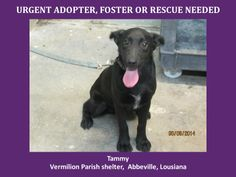 URGENT! WILL DIE 6/14/14 6/9/14 Tammy is a female Lab. Mix and is 6 months old and weighs 30.4 lbs. Will be available 6-14-14. http://www.youcaring.com/nonprofits/tammy-the-lab-060914/189188 *Please note this animal is not with AAVA - we are networking for rescue as the liason for the shelter* This baby is in a kill shelter in Abbeville, LA which does not allow public adoptions. Animals must be pulled by an approved rescue or can be adopted through AAVA.