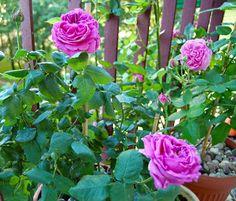 Balkon Pełen Róż: Mme Isaac Pereire - róża pachnąca konfiturami