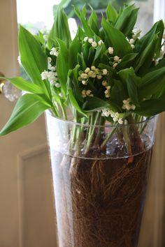 Lily of valley Convallaria majalis