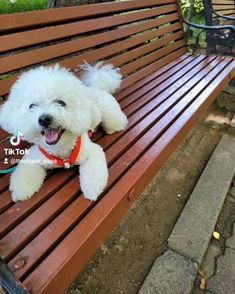 Cortes Poodle, Dogs, Girl Rooms, Pet Dogs, Doggies