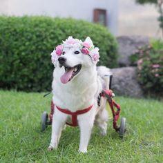 Самая счастливая собака в инвалидной коляске