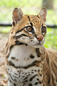 """Ocelot - Macho Man"" - photo by Dan Bodenstein, via Flickr Beautiful Kittens, Cute Cats And Kittens, Big Cats, Crazy Cats, Animals Beautiful, Majestic Animals, Unique Animals, Cute Animals, Jaguar"