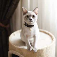 How adorable is this kitty!? Meet @perfectcatcasper the lilac Burmese kitten wearing his grey Cheshire