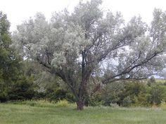 ARTE Y JARDINERÍA DISEÑO DE JARDINES: Arbol del Paraíso. Eleagnus angustifolia
