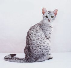 Egyptian Mau cats are one of my favorite breeds of cat and happen to be the fastest housecat. Pretty Cats, Beautiful Cats, Animals Beautiful, Cute Animals, Egyptian Cat Breeds, Egyptian Cats, I Love Cats, Crazy Cats, Cool Cats