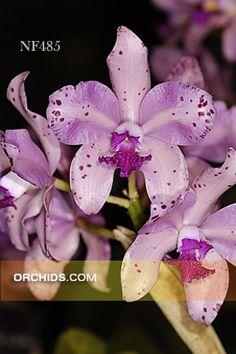 C. amethystoglossa  (C. amethystoglossa 'Orchidglade' AM/AOS x C. amethystoglossa 'Orglade's Rowdy' AM/AOS)