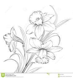 Daffodil flower or narcissus isolated on white. Narcissus flower or narcissus isolated on white. Royalty free cliparts, vectors, and stock illustration. Narcissus Tattoo, Daffodil Tattoo, Flor Tattoo, 1 Tattoo, Flower Sketches, Drawing Sketches, Flower Drawings, Pencil Drawings, Birth Flower Tattoos