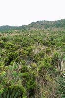 Matorral frailejonal, en el subpáramo de Cruz Verde.