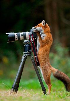 zorro tomando fotos