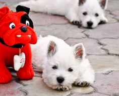 Nothing cuter than a Westie puppy!!.