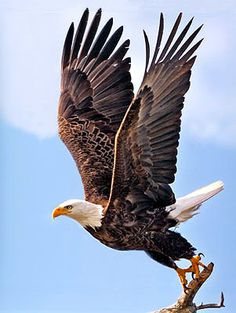 Eagle at Reelfoot Lake in Tennessee