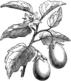 8 Best Eggplant Images Eggplant Eggplants Botanical Art