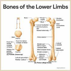 Bones of the Lower Limbs-Skeletal System Anatomy and Physiology for Nurses    https://nurseslabs.com/skeletal-system/