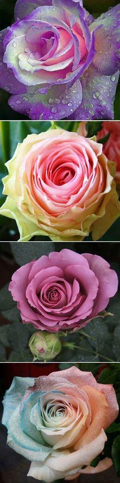 US$2.59 100Pcs Multicolor Rose Seeds Purple Pink Heart Roses Seeds Multicolor Garden Flowers