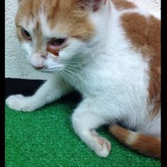 """HELP! Emergency! ID 0033, """"Sid"""" - URGENT URGENT!! This poor boy will not make it through tomorrow unless we have support! He will most likely need extensive vet care due to his leg injury, eye issues, and URI! Please read the story from our volunteer who went in to see the ..."""