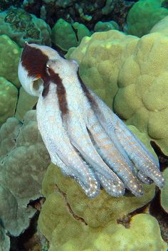theoceaniswonderful: Ghost Octo by BarryFackler        * Day Octopus (Octopus cyanea), #Hawaii