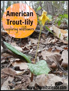 Share it! Science News : See it? Share it! American Trout-Lily. Observing woodland flowers