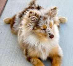 Pomeranian/Australian Shepherd mix. It's adorable! I want one!
