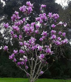 The showy Magnolia soulangiana tree, commonly called the saucer magnolia tree, is one of the approximately 200 species of magnolia in the Magnoliaceae family.Magnolias — named after French botanist Pierre Magnol (1638-1715) — are